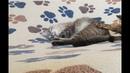Аттракцион Вычесывание кота
