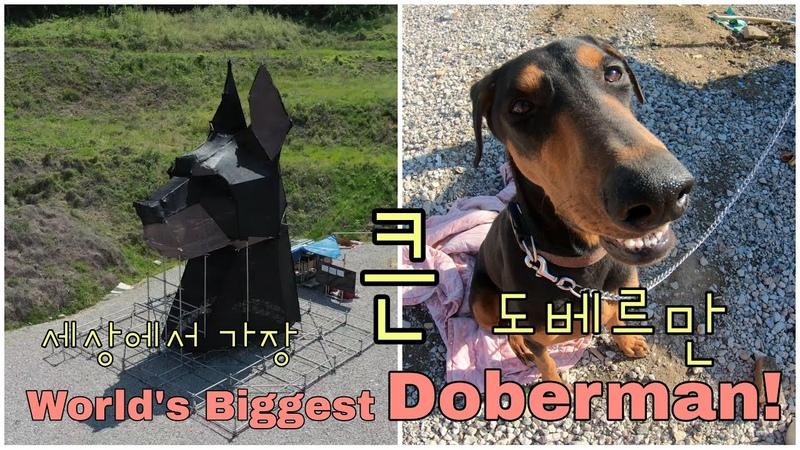 Kalkari Episode 2 World's Biggest Doberman 세상에서 가장 큰 도베르만