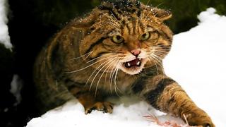 Универсальный охотник — ЛЕСНОЙ КОТ. Интересные факты и жизнь дикой лесной кошки.Документальный фильм