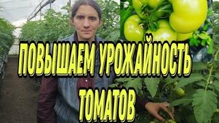 Как повысить урожайность томатов? Полезные агротехнические приёмы.