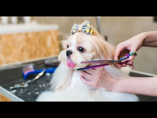 A beautiful haircuts shih tzu - How to groom shih tzu? You will be surprised   Onpoint kids
