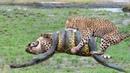 Cuộc gặp gỡ gây cấn nhất được camera quay lại về loài rắn khổng lồ - Giải cứu siêu may mắn