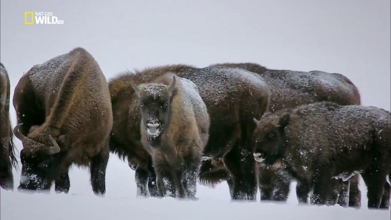Nat Geo Wild Волчьи горы The Wolf Mountains 2013 1080i