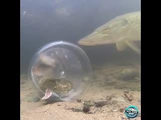 А как по-вашему, щука — умная рыба или не очень?)