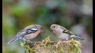 Видеозарисовка Зяблики весной(самец и самка)