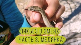 Ликбез о змеях. Часть 3. Обыкновенная медянка