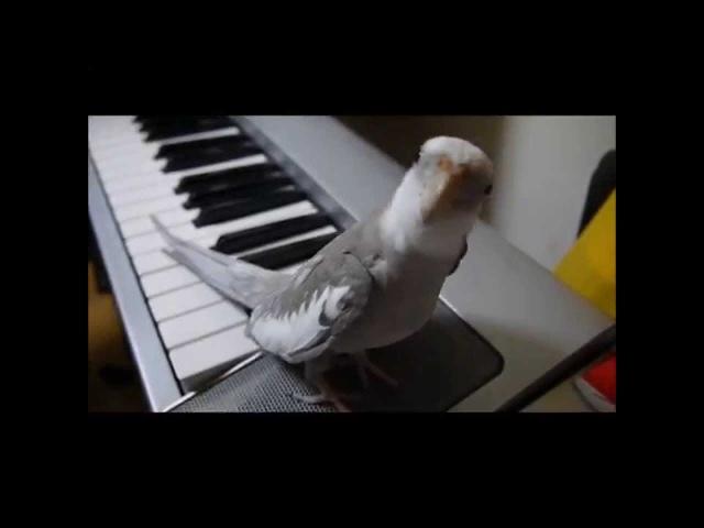 オカメインコのぽこちゃんが歌うとなりのトトロ Poko singing Totoro
