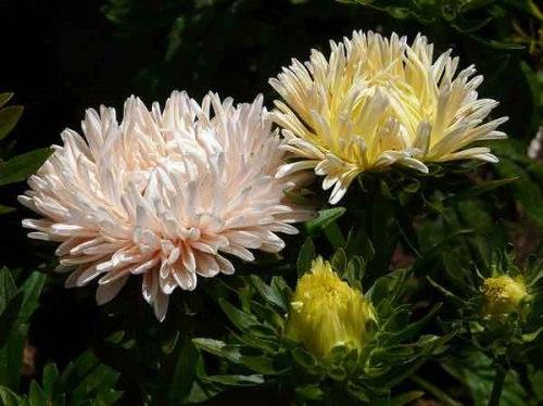 Выращивание астры из семян на рассаду Астры (Aster) любимые садовые цветы, непременный атрибут любого участка. Создание условий для успешного выращивания астр из семян, посадка рассады и