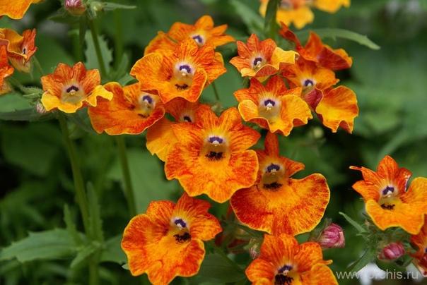 НЕМЕЗИЯ Немезия - многолетнее красивоцветущее растение. Ее родиной являются высокогорные пастбища в Южной Африке. У немезии очень длинный стержневой корень, который помогает ей выживать в
