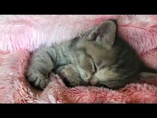 Очаровательный котенок сладко  спит и мурчит / Adorable kitten sleeps sweetly and purrs