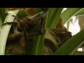 Удивительные летучие мыши (Познавательный, природа, животные, 2016)