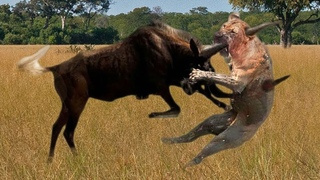 Mother Wildebeest attacks Lion very hard to save her baby , Wild Animals Attack