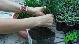 Самшит.От черенка до растения. Growing boxwood from a cuttings - video instruction