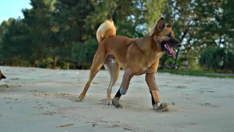 Таиланд псу без лап сделали протезы как у параолимпийцев новости