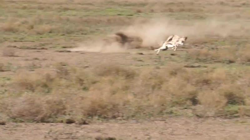 На максимальной скорости гепард может бежать не дольше 30 35 секунд
