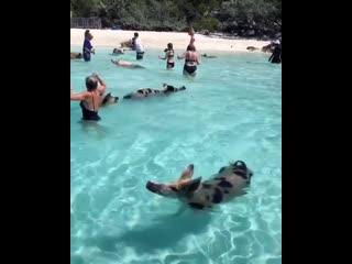 Свинюшки снова потревожили туристов на Багамах