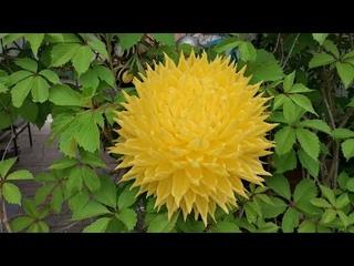 Хризантема шарообразная. Украшаем дачную беседку.