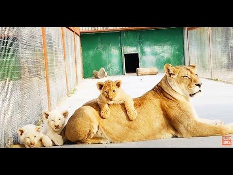 КОШМАР Львица сделала такой прыжок защищая львят