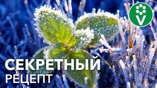 ЭТА ОБРАБОТКА спасет растения от ВЕСЕННИХ ЗАМОРОЗКОВ! Простой, дешевый и эффективный рецепт