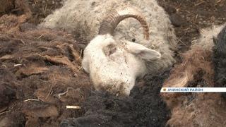 В Ачинском районе нашли десятки трупов заморенных голодом животных