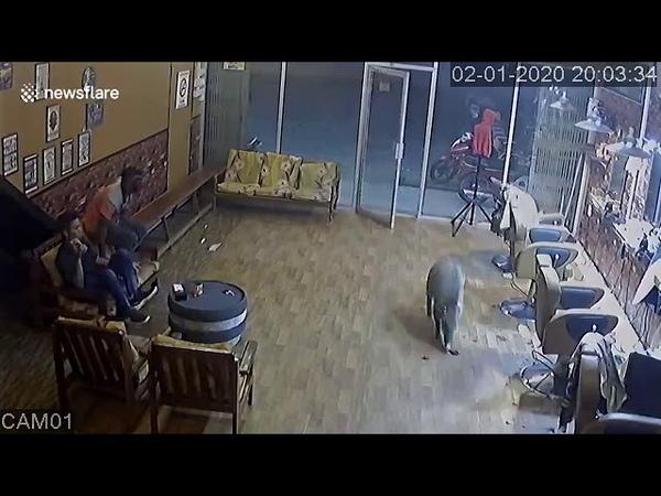 ( pumbaa😋😋😋😋) 🤣🤣🤣🤣 wild boar makes surprise visit to Malaysian hair salon