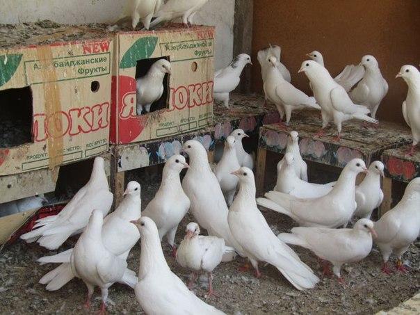 бакинские голуби в баку