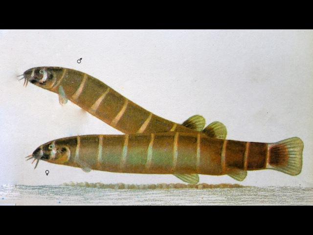 Акантофтальмус Майерса Acanthophthalmus myersi Аквариумные тропические рыбы 17