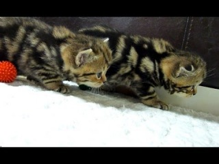 Crouching Tigers stalking (Cute and funny Ninja fluffy kittens)