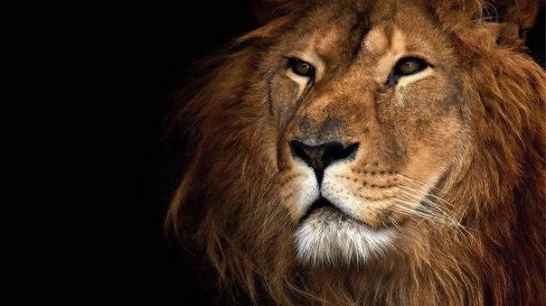 Скачать Бесплатно Обои Львы