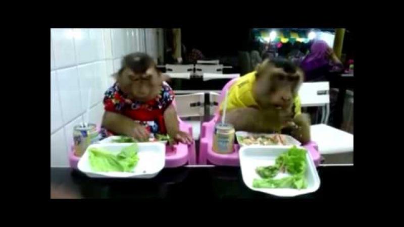 Monkeys In A Restaurant Śmieszne Małpy W Restauracji Смешные Обезьяны в ресторане