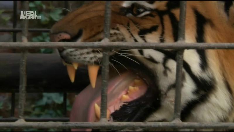 Animal planet Большие и страшные Тигры