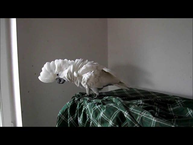 White Cockatoo Cacatua alba hand reared parrots Kakadu Białoczuba ręcznie wykarmiona