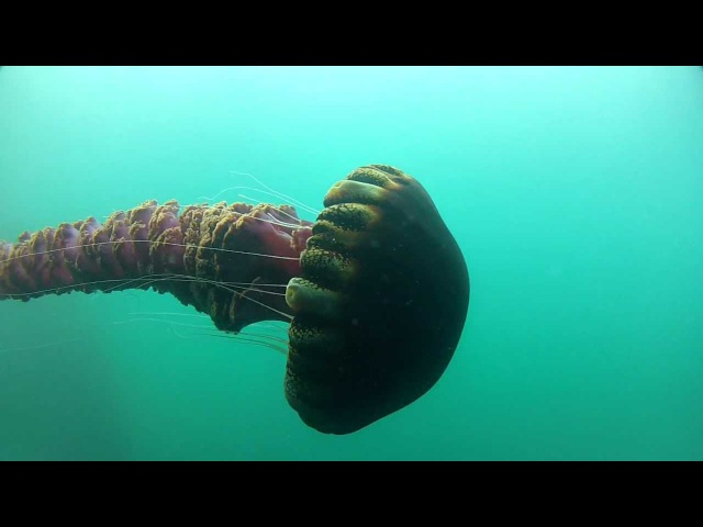 Black Sea Nettle Chrysaora achlyos