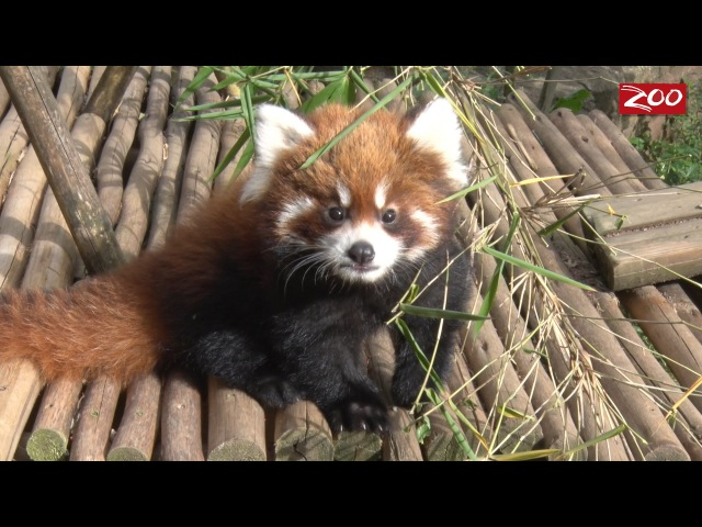 Red Panda Cubs Explore the Outside World