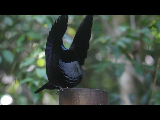 Victoria's Riflebird - Bird of Paradise - Dance