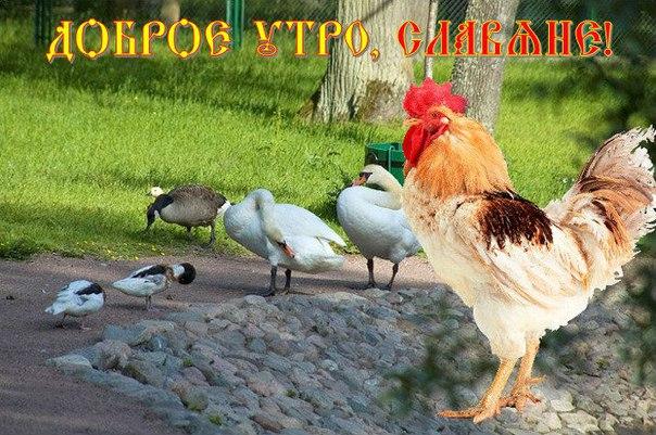 дачном картинка доброе утро курица используется