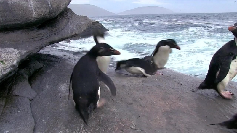 03 BBC Пингвины Шпион в стае 3 я серия Взросление