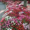 Рассада в Саратове - Цветник Ривьера