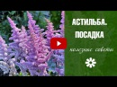 Астильба и Хоста тенистый сад 🌸 Посадка и уход за цветами HitsadTV