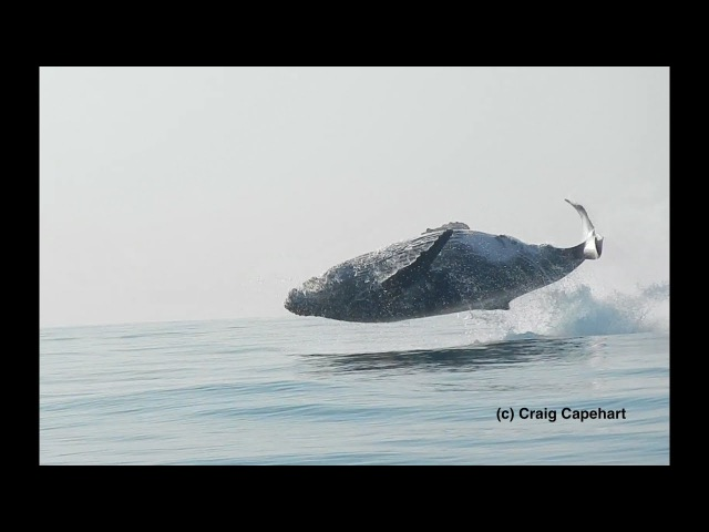 40 Ton Humpback Whale Leaps Entirely Out of the Water A Video by Craig Capehart