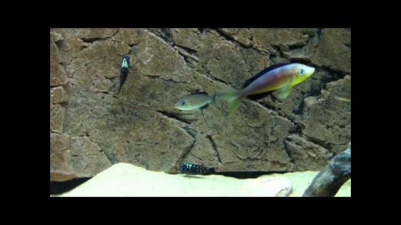 Cyprichromis microlepidotus Karilani courtship - PISCES