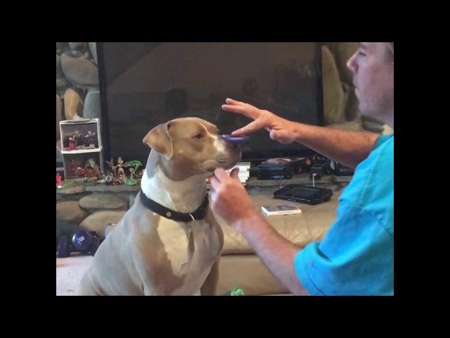 Спиннер питбуля SPINNER Spinner Спиннер спеннер питбуль стаффорд собака пес Dog Pit Bull Dog Spinner vs Pittbull