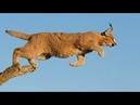 Incredible A Caracal Slaps Down a Bird in Flight