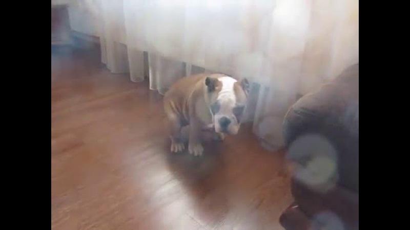 Английский бульдог Хочешь собаку Смотри ржаку