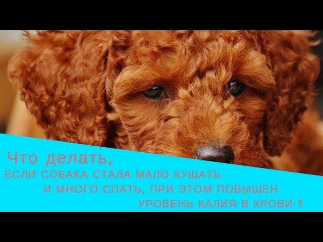 Что делать, если собака стала мало кушать и много спать, при этом повышен уровень калия в крови?