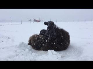 Как медвежонок Мансур радовался первому снегу в его жизни