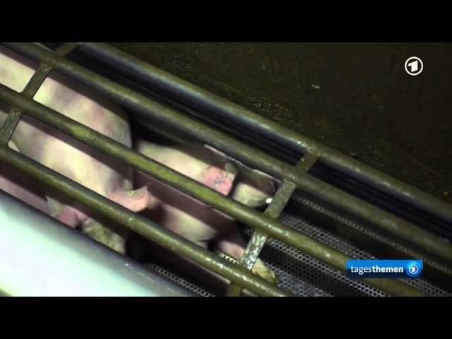 Derzeit normale Schlachtung in Deutschland Schweine ersticken qualvoll