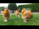 Bad boys buff columbian brahma roosters born in april