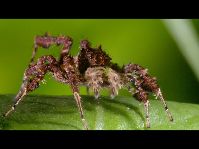 Spider With Three Super Powers The Hunt BBC Earth