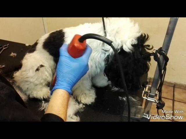 Стрижка смешанный породы Собака хаванез малтезер грумминг как подстричь злую собака